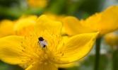 Dotterblumen sind im Frühjahr häufig