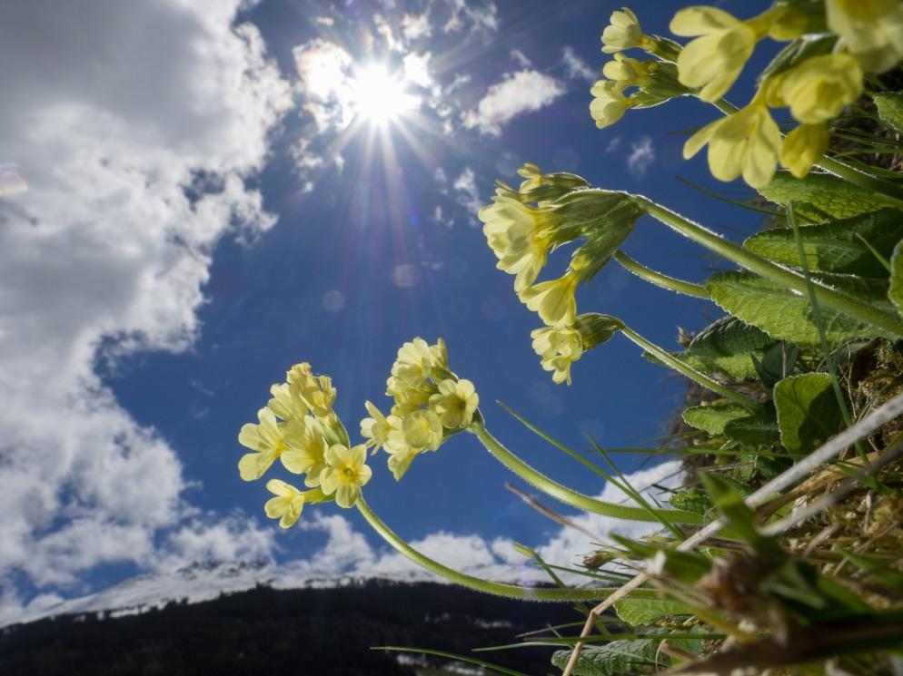 Schlüsselblumen gegen die Sonne fotografiert, im Hintergrund der Haneburger