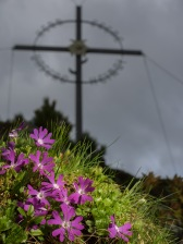 Kleine Primel (Primula minima) beim Largoz-Kreuz