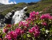 Alpenrosen oberhalb der Gwannalm