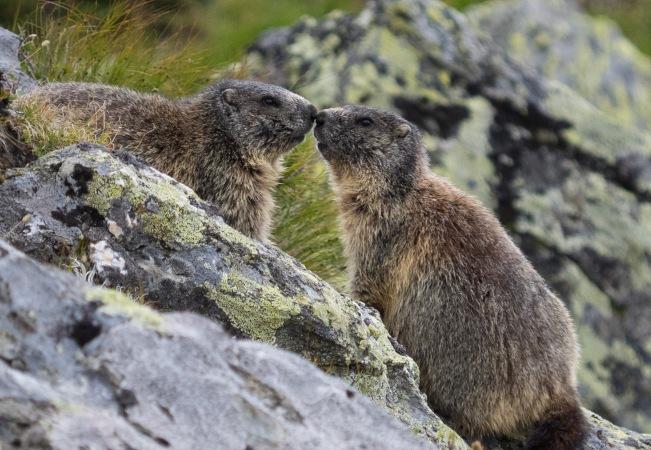 Zwei Murmeltiere beschnuppern sich