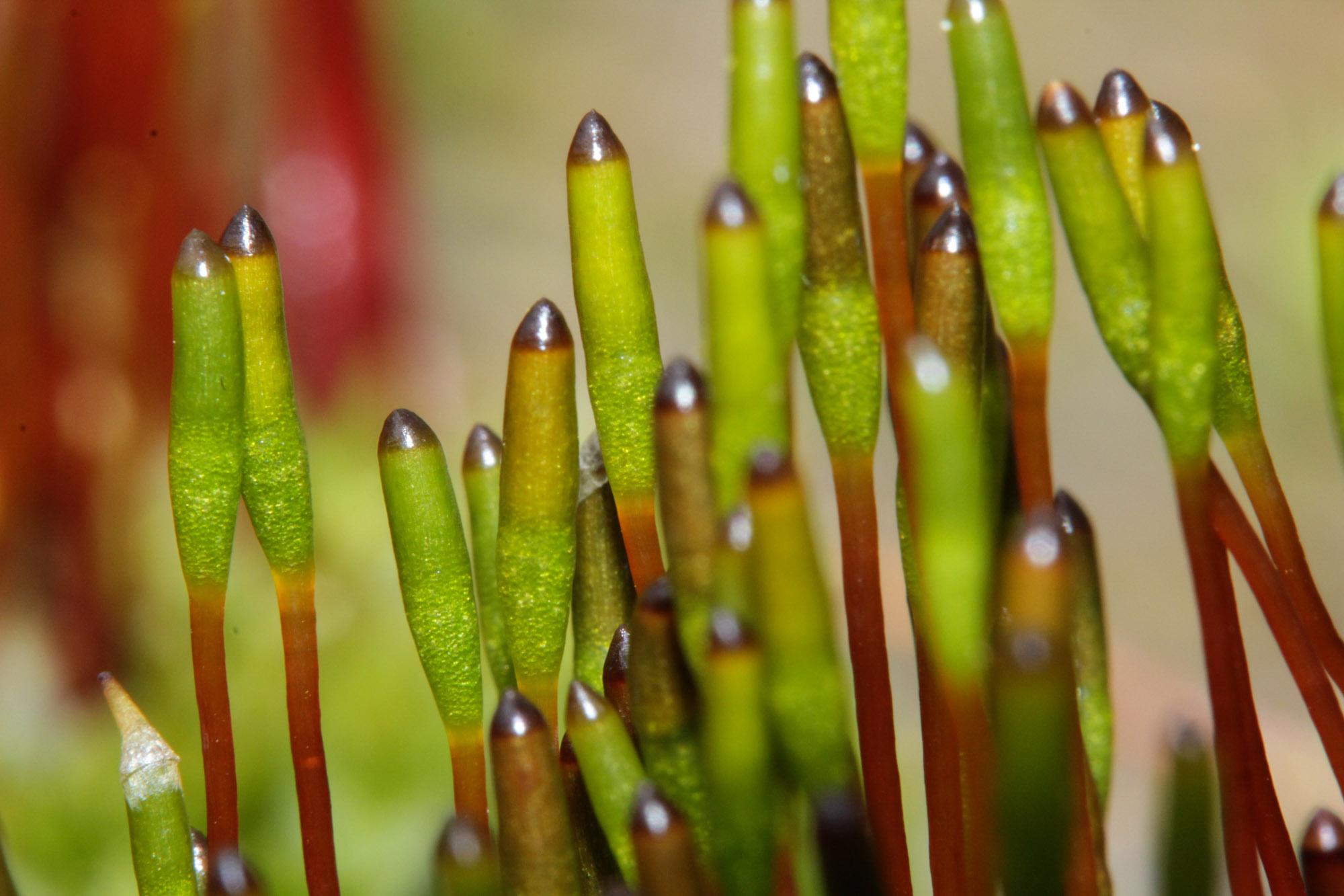 Längliche Sporenkapseln von Moos