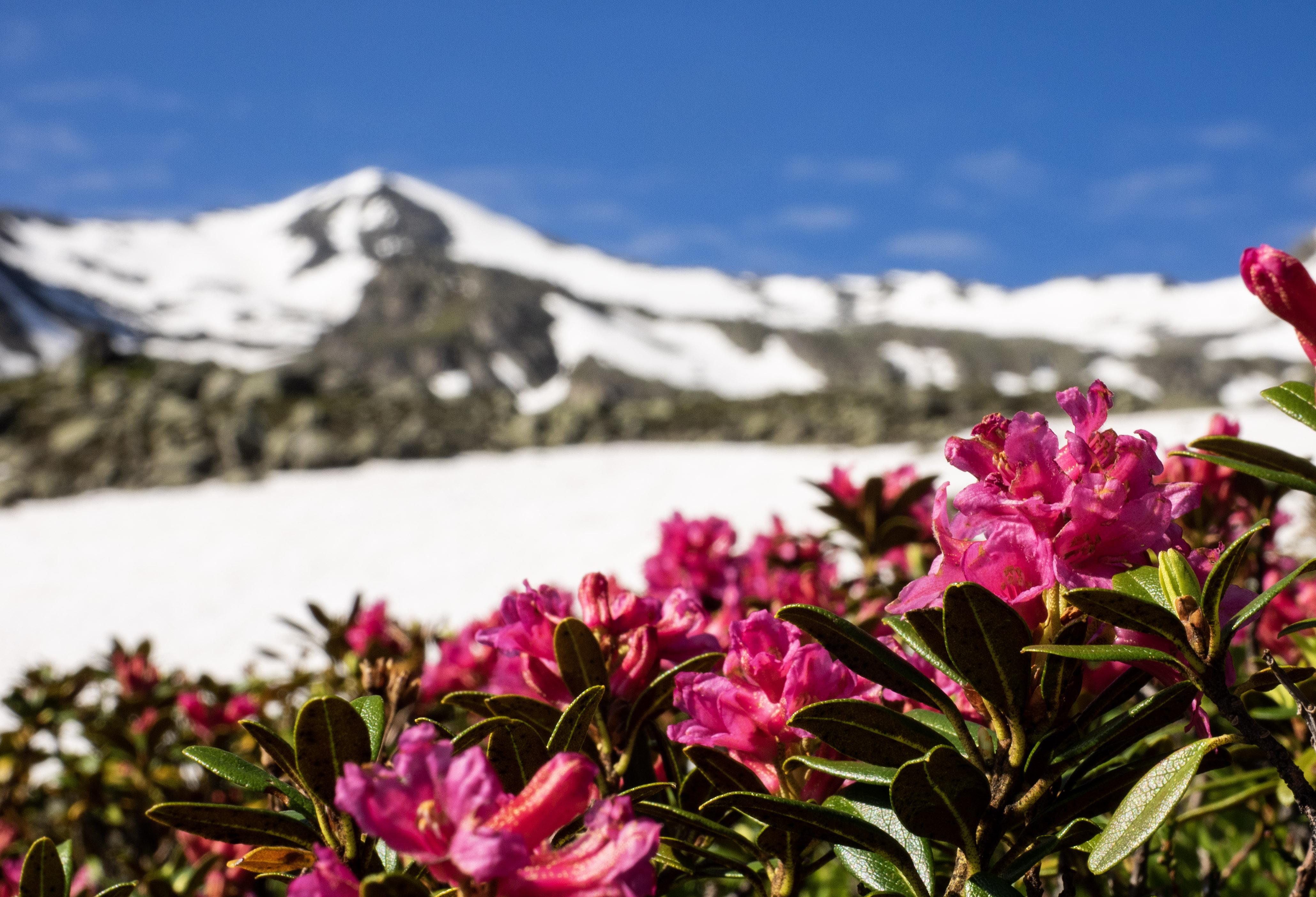 Rostrote Alpenrose vor dem Rosenjoch