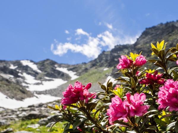 Rostrote Alpenrose im Mitterkar