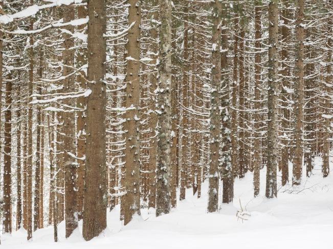 Fichten-Monokultur im Winter