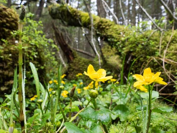 Schachtelhalm und Dotterblumen in sumpfigen Wald