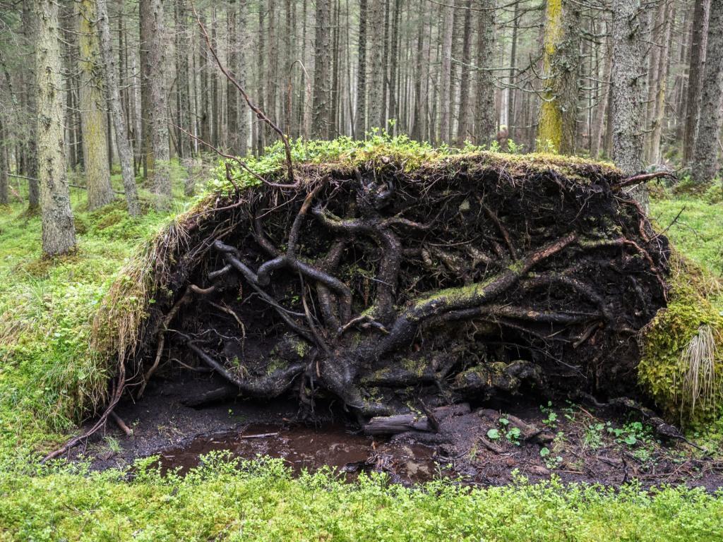 Blick auf einen Wurzelteller einer umgestürzten Fichte in einem Waldsumpf
