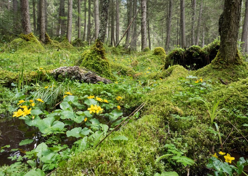 Sumpfdotterblumen in einem Wald