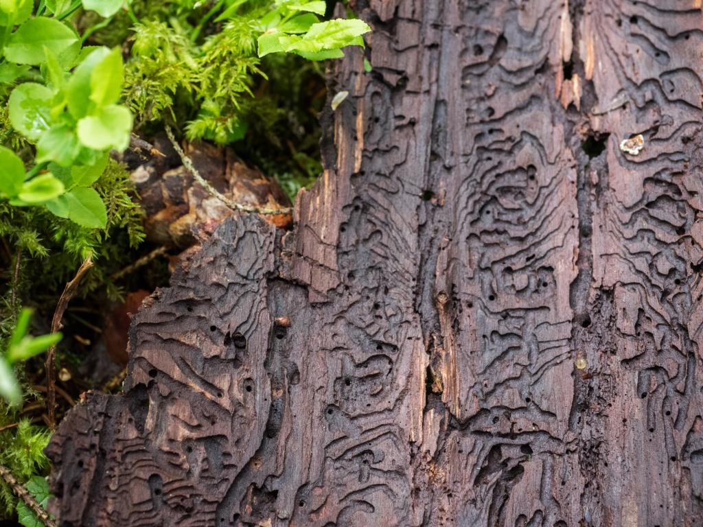 Fraßspuren von Borkenkäfer auf einer am Boden liegenden Rinde